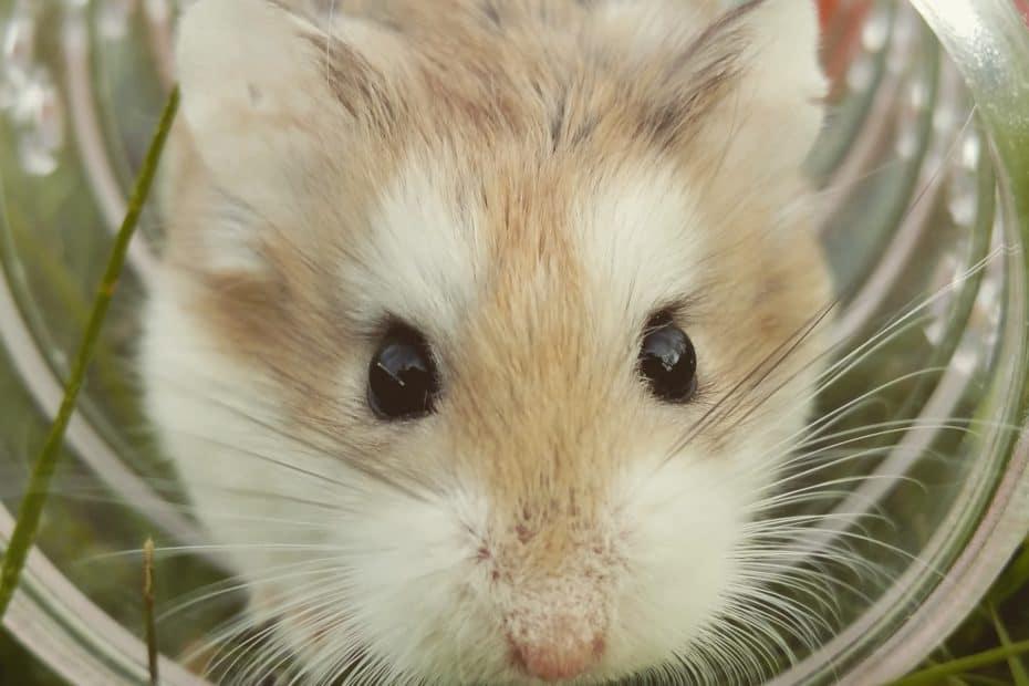 hamster looprad
