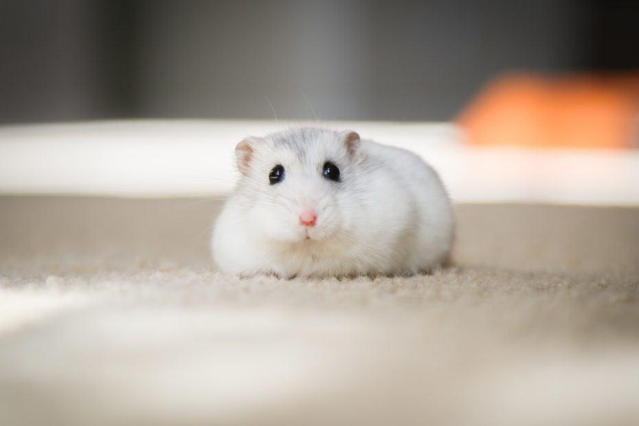 hou oud wordt een hamster