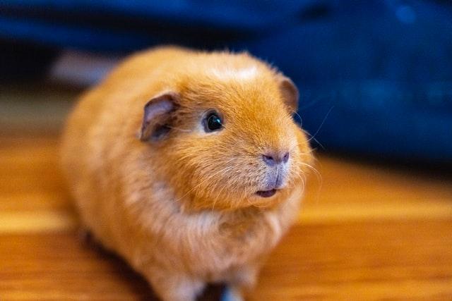 kunnen hamsters zwemmen